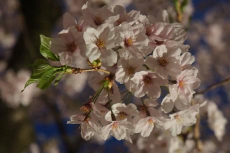 0401桜.jpg