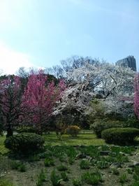浜離宮:桜紅白2.jpg