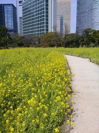 浜離宮:菜の花.jpg