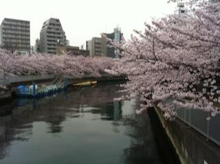 桜満開4.jpg