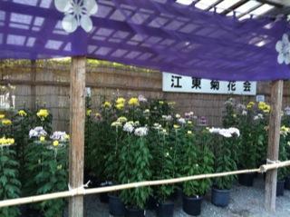 亀戸天神社菊まつり菊7.jpg