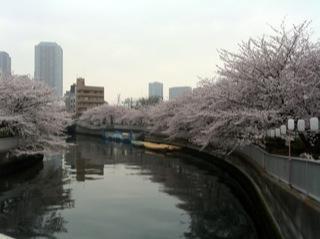 桜満開1.jpg
