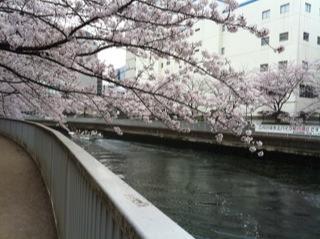 桜満開5.jpg