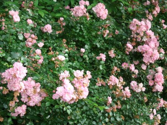 中央公園花.jpg