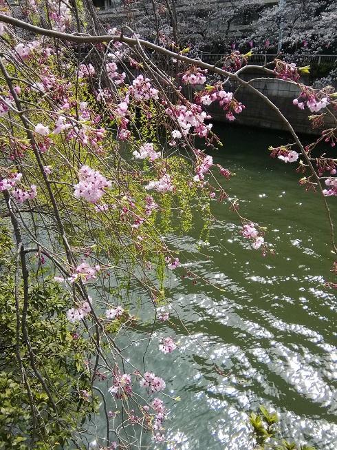 目黒川の桜3.jpg