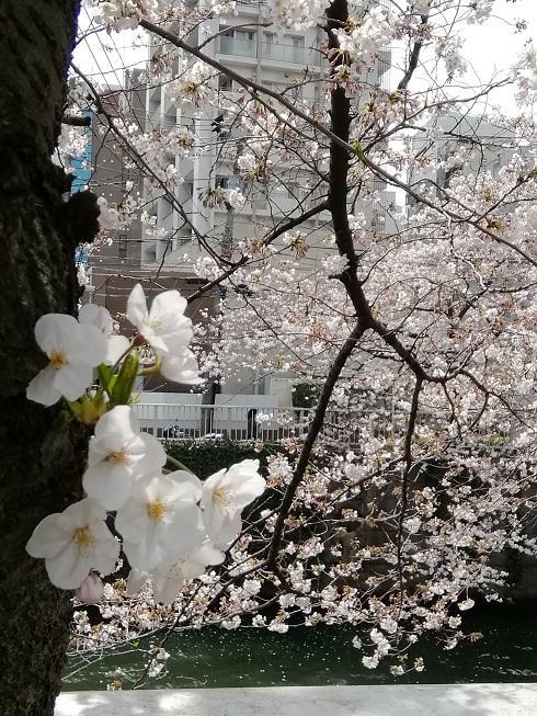 目黒川の桜1.jpg