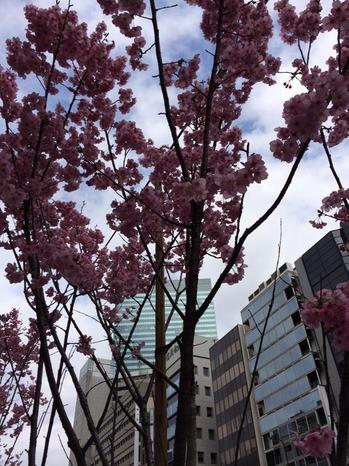 桜.jpgのサムネール画像