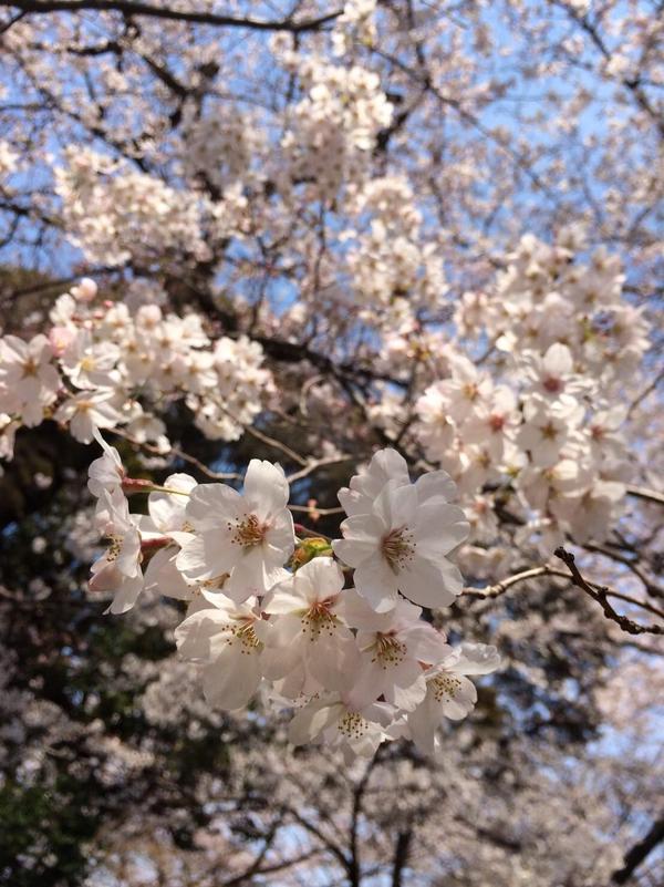 桜 2017.jpg